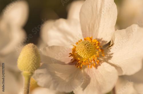 Japanische Herbst Anemone In Der Abendsonne Stock Photo And Royalty