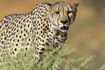 Cheetah Approach