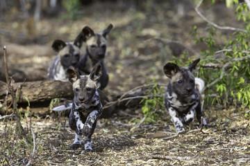 Wild Dog Pups Chase