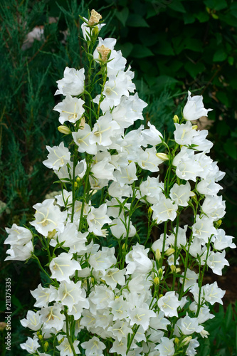 White bell flowers campanula persicifolia as background colorful white bell flowers campanula persicifolia as background colorful campanula bell flowers in flowerbed mightylinksfo