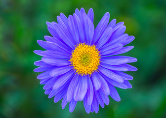 Purple Aster close-up on green natural background