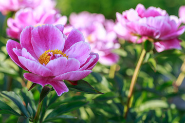 White Peony pink close up. Natural background.
