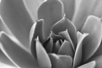 black and white background. natural patterns. closeup succulent.