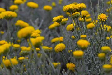 Helichrysum Yellow Flower - Macro