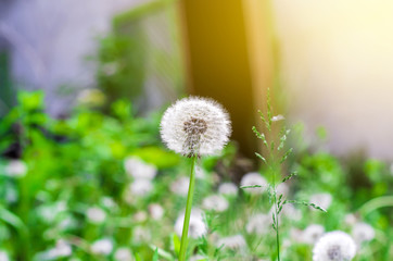White dandelion on grass background, sunlight side view.