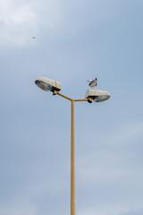 Goéland à la recherche de poisson sur un lampadaire de ville