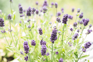 Beautiful Lavender in the garden