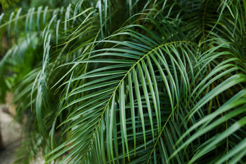 Palm big foliage background photo. Concept of flora in rainforests.