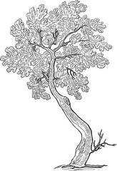 Sketch of a decorative small oak tree