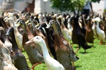 runner ducks in cape town