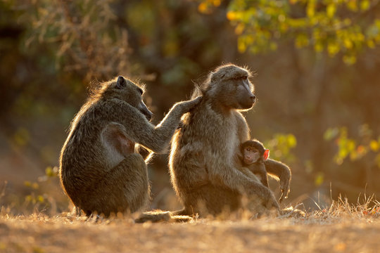 Backlit family of chacma baboons (Papio ursinus), Kruger National Park, South Africa.