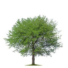 Isolated tree. White background