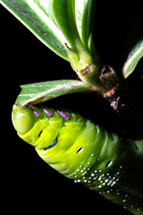 Green worm, Caterpillar is eating leaf tree isolated on black background