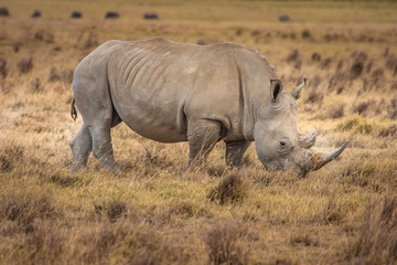 African Rhinoceros. Rhinoceros in the African savannah. Old Rhin
