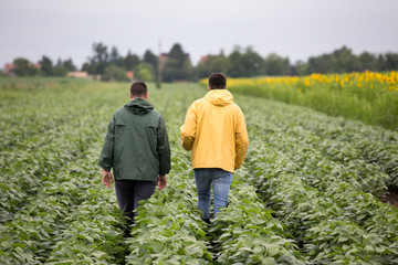 Farmers walking in soybean field
