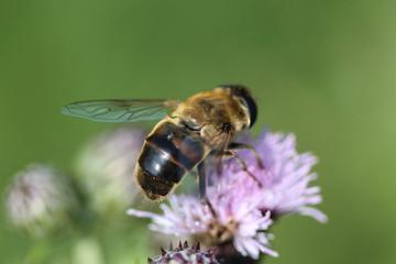 Eristalis similis, a European species of hoverfly, sitting on flower