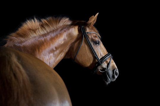 Horse black background