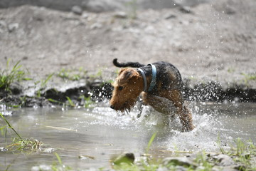 Airedale Terrier dog - puppy 6 month old.