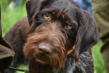 German wirehaired pointer dog is looking into the camera.