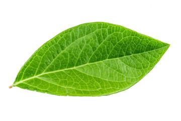 blueberry leaf isolated