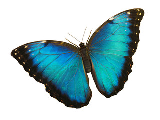 Bright opalescent blue morpho butterfly, Morpho peleides, is isolated on white background with wings open.