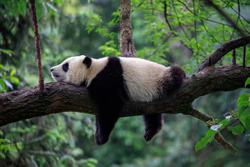Keuken foto achterwand Panda Lazy Panda Bear Sleeping on a Tree Branch, China Wildlife. Bifengxia nature reserve, Sichuan Province.