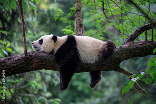 Wall mural Lazy Panda Bear Sleeping on a Tree Branch, China Wildlife. Bifengxia nature reserve, Sichuan Province.