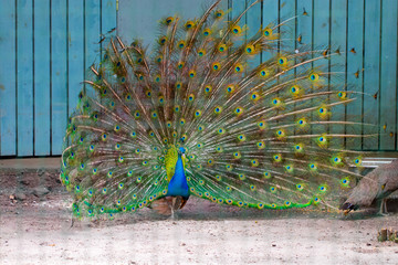 peacock opens its tail on wooden background