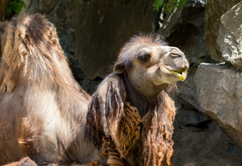 camel close up in zoo. sunny summer day