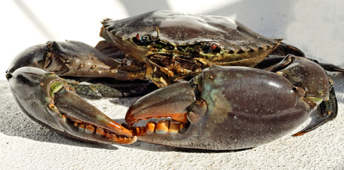 Giant Mud Crab. (Scylla serrata)