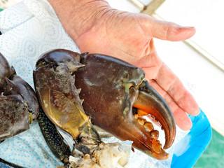 Giant Mud Crab. (Scylla serrata)