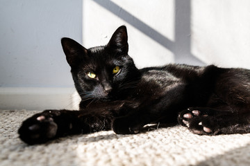 A beautiful handsome black cat is playful in a sunbeam cast by a window in the late afternoon