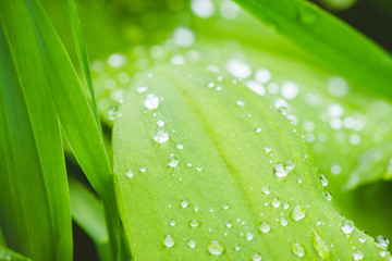 Fresh green leaves with water drops in the garden. Selective focus. Shallow depth of field.