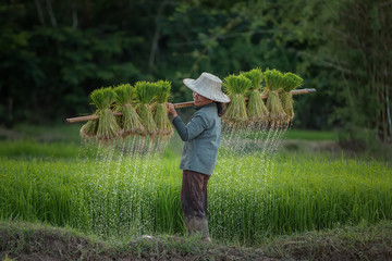 Farmer holding ricebaby on green nature at framland