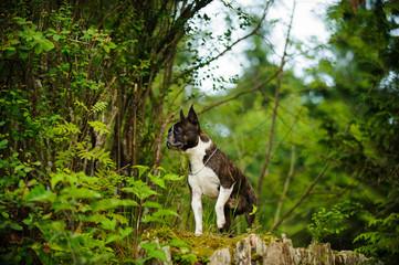Boston Terrier dog outdoor portrait in forest