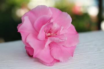 красивая розовая роза на фоне размытом фоне