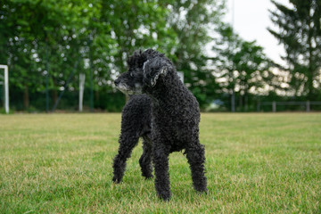 Poodle photography