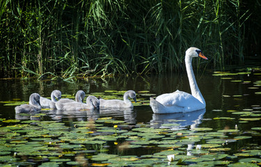 Female of mute swans with young chicks