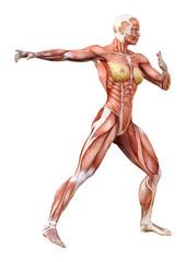3D Rendering Female Anatomy Figure on White