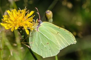 Yellow butterfly brimstone sits on flower