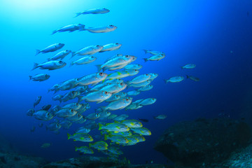 Fish on coral reef. Oriental Sweetlips and Bigeye fish