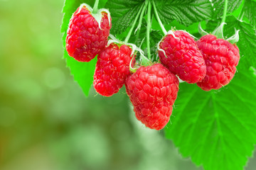 raspberries on the bush