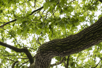 Green leaves on an oak branch.