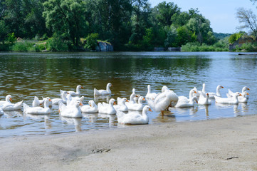 Beautiful white geese on a sunny day on a nature background. A flock of birds rest on the river bank. Domestic waterfowl.