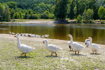 Beautiful white geese on a nature background. A flock of birds on the river bank. Domestic waterfowl. Flock of birds returning home.