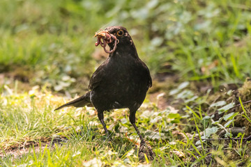 blackbird Turdus merula collects insects for their young in germany