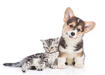 Corgi puppy and scottish tabby kitten lying together. isolated on white background