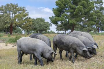 Cerdos ibéricos comiendo bellotas en un campo de encinas den Salamanca
