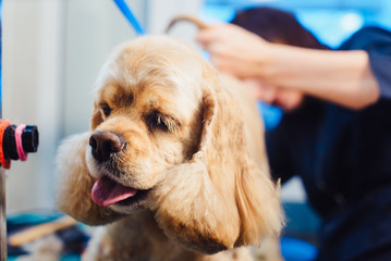 Female groomer haircut Cocker Spaniel on the table for grooming in the beauty salon for dogs.