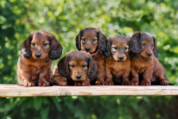 group of dachshund puppies posing together outdoors
